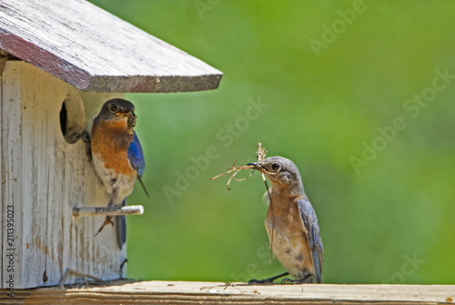 Valokuvatapetti Male and female Bluebirds check out their nest.