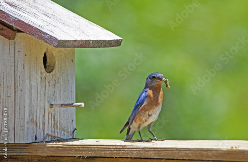 Photo Single male Bluebird perched against a green background.
