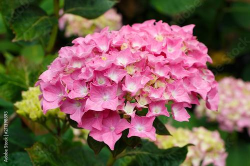 Foto op Plexiglas Hydrangea Fleur d'hortensia rose