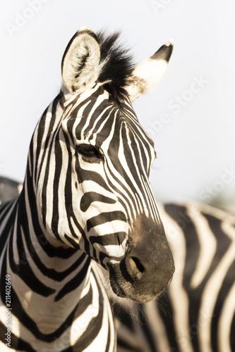 Poster Zebra Portrait of zebra in natural light