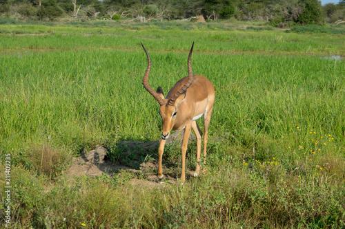 Poster Antilope Impala im afrikanischen Busch