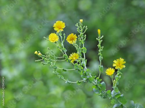Fototapeta Lettuce Flower Plant obraz