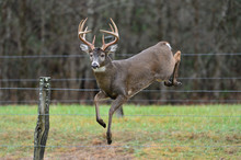 Buck Jumping Fence In Cades Cove, Tennessee