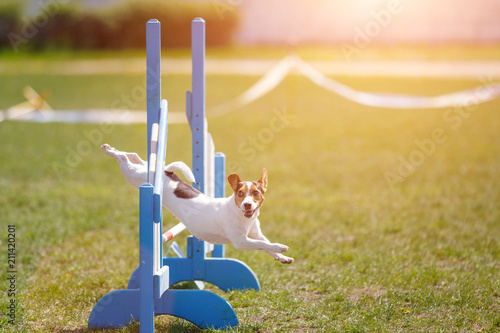 Fotografie, Obraz  Jack russell terrier jumping over hurdle in agility competition