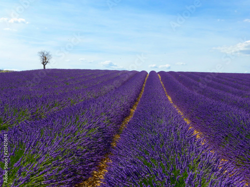 Schilderijen op glas Landschap CLOSE UP: Endless lines of blooming lavender in sunny France