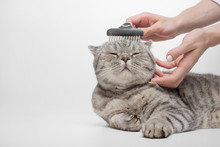 Cleaning The Coat Of A Scottish Cat, A Veterinarian, Isolated