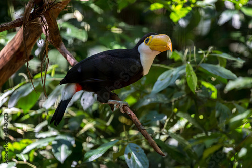 Tuinposter Toekan Yellow beak toucan in natural surrounding