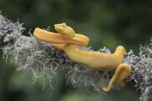 Yellow Eyelash Viper Snake (Bo...