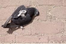 Dead Pigeon On A Block