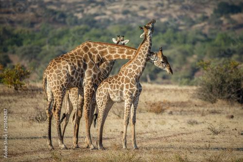 Staande foto Giraffe giraffe males fighting
