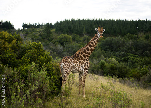 Giraffe - safaru Poster