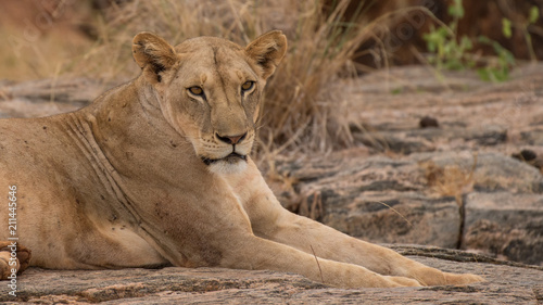 Staande foto Leeuw lion in africa