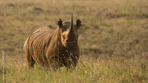 Poster Rhino african black rhino