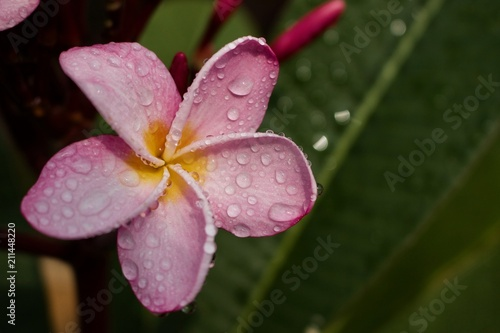 Spoed Foto op Canvas Frangipani Close up of beautiful rain kissed pink plumeria (frangipani) flowers