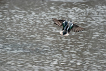 Blue-Winged Teal Flying Away
