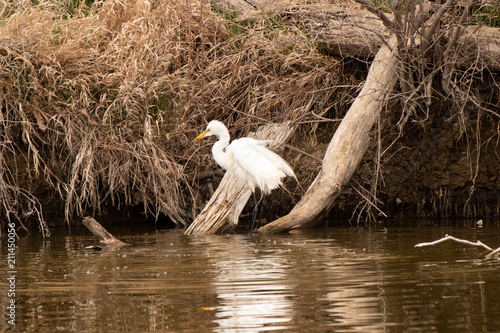 Photo  Great Egret Wading