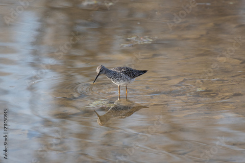 Photo  Lesser Yellowlegs Wading