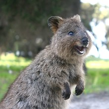 Laughing Quokka - A Little Mar...