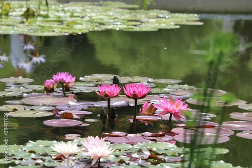 Photo Stands Water lilies スイレン