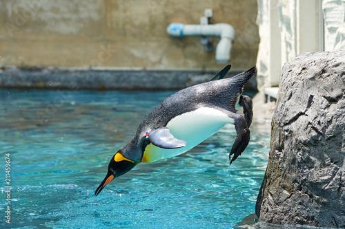 プールに飛び込むキングペンギン