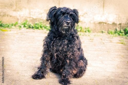 Fotografering  portrait of black schnauzer dog with brick wall background
