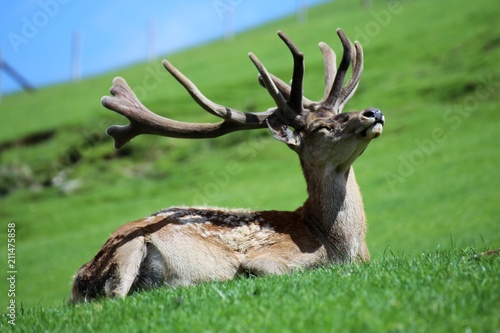 Tuinposter Hert Rotwild in den Bergen