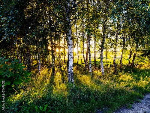 Lato -  zachodzące słońce oświetla młodą brzezinę - 211478015