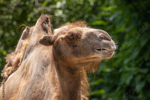 Foto op Aluminium Kameel Camel