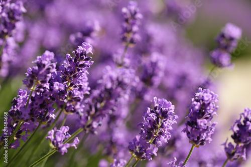 flowering purple lavender with bees