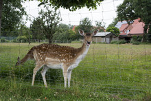 A Young Deer Behind Bars. Close Up.