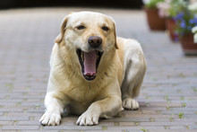 Big Clever Light Yellow Brown Funny Dog Labrador- Retriever Laying In Paved Yard On Bright Sunny Day On Blurred Flower Pots Background. Guard, Protection, Friendship, Fidelity And Loyalty Concept.