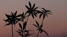 A Man's Hand Tears Off One Of The Tops Of A Young Hemp Against The Background Of An Evening Pink Sky. Close-up Silhouette Of Kanabis Sprouts At Sunset.