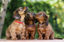 Three Adorable Dachshund Puppi...
