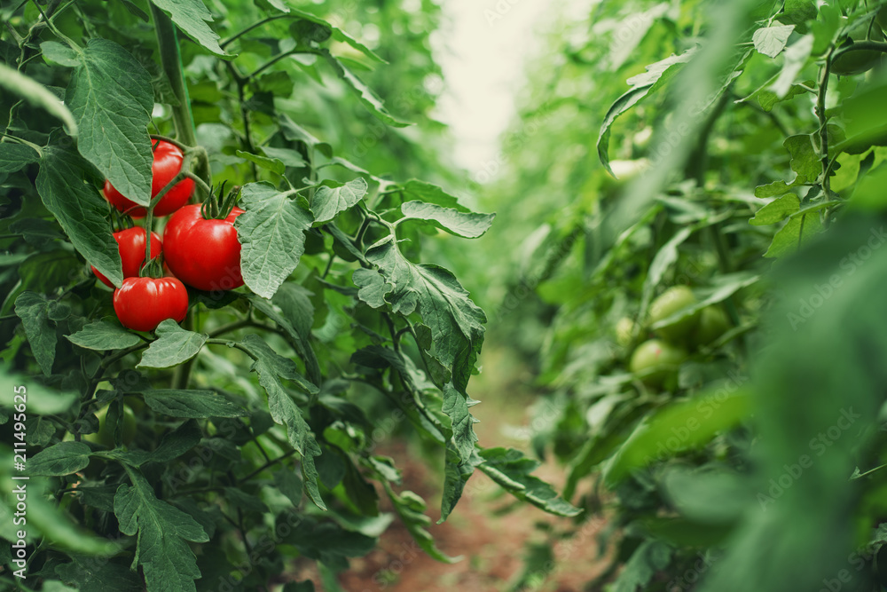 Fototapety, obrazy: Tomatoes in a Greenhouse. Horticulture. Vegetables