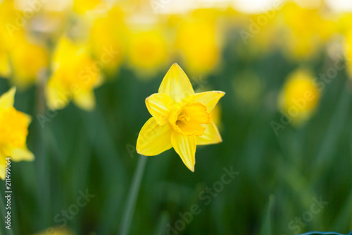Garden Poster Narcissus Amazing Yellow Daffodils flower field in the morning sunlight. The perfect image for spring background, flower landscape.