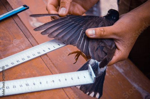 Fotografie, Obraz Measuring the wing of a bird.