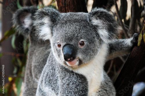 Spoed Foto op Canvas Koala Koalas in Queensland