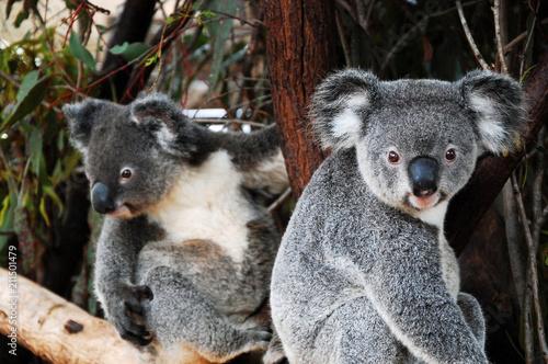 Foto op Canvas Koala Koalas in Queensland