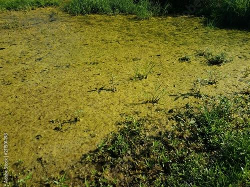 Fotografia, Obraz  green algae in stagnant water
