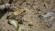 A Brown Frog With Green Accents And Dark Spots Basks In The Sunlight In A Muddy Marsh.
