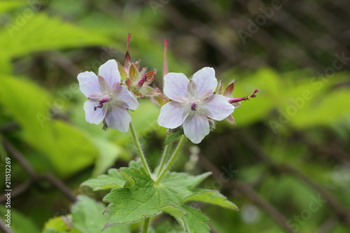 Geranium eriostemon var. reinii in Ibuki mountain, Japan Canvas Print