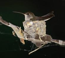 Cute Female Hummingbird In A N...