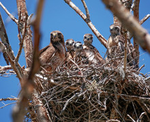 Mother Red Tailed Hawk In The Nest With Four Babies