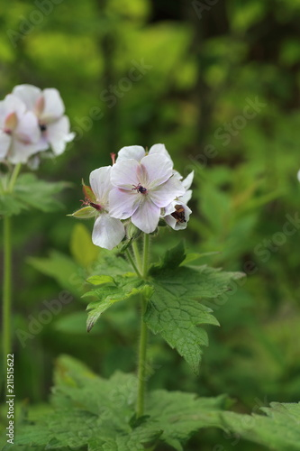 Photo Geranium eriostemon var. reinii in Ibuki mountain, Japan