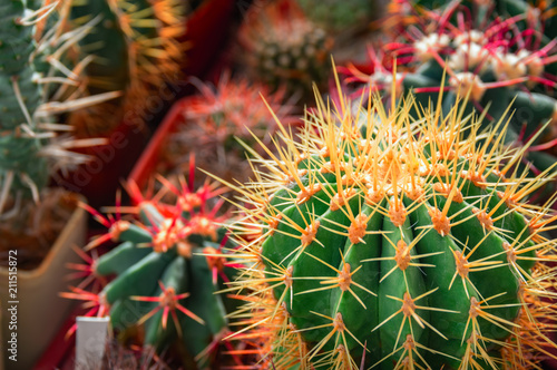 Foto op Canvas Cactus Exotic cacti in the greenhouse. Collection of various cactus and succulent plants.