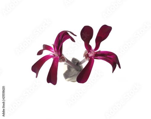 Kapland-Pelargonie, Umckaloabo, Pelargonium, sidoides