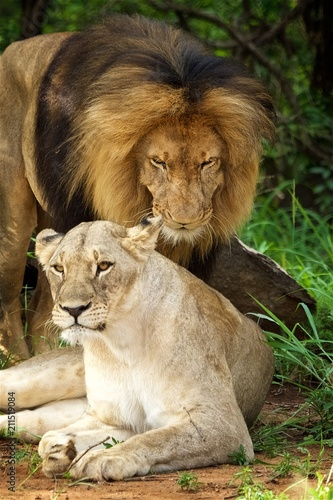male and female lions - Buy this stock photo and explore