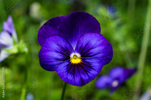 blue blooming pansy flower closeup in green garden