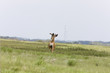 Deer in Saskatchewan