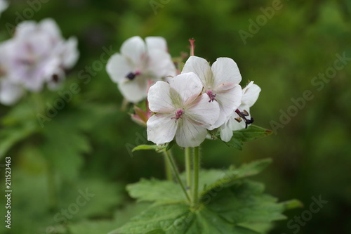 Geranium eriostemon var. reinii in Ibuki mountain, Japan Wallpaper Mural